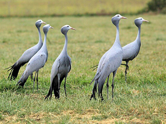blue cranes in the overberg