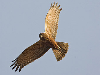 African Marsh-Harrier