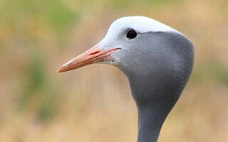 BLUE CRANES FITTED WITH TRACKING DEVICES