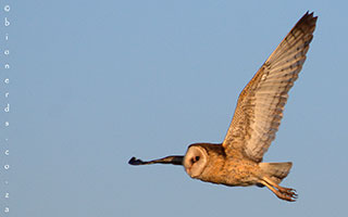 THE AFRICAN GRASS OWL