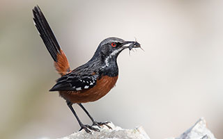 New study: This Fynbos bird is disappearing – as temperatures rise