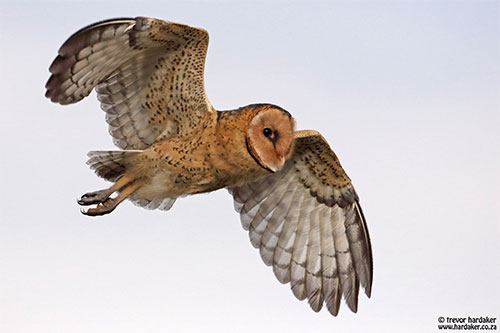 The search for the African Grass Owl – here's what happened…