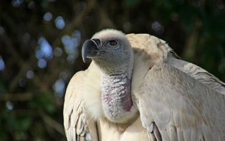 A conservation success: How Potberg's Cape Vulture population dodged extinction
