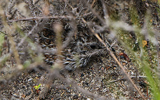 A special Overberg sighting: Fynbos Buttonquail chicks